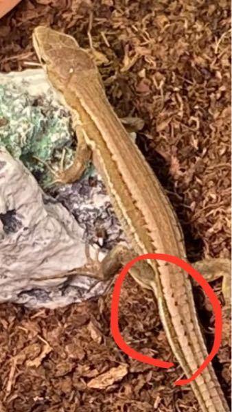 家で飼育しているカナヘビです この子ってオスであってますか?