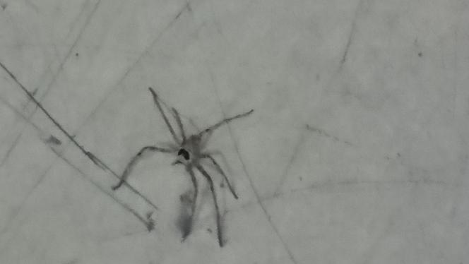 この蜘蛛は何て言う蜘蛛ですか? 室内にいました!