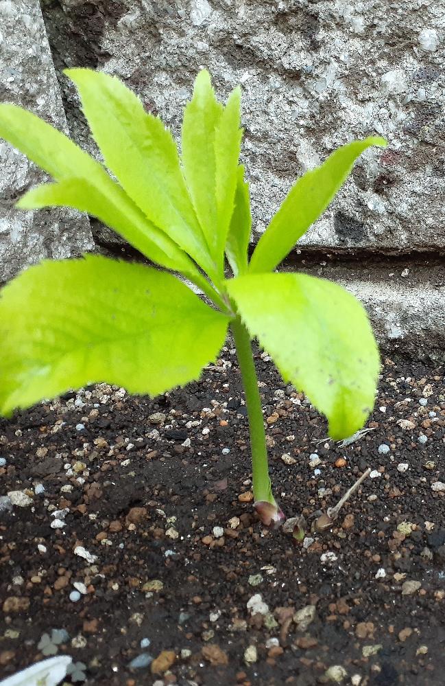 クリスマスローズの開花について 昨年ポット苗を買いました。今年は開花するだろうと玄関前に植え替える際、鉢を落としてしまい、茎が根元から折れてしまいました。 幸い何とか新芽が出てくれたのですが、今年の開花は難しいでしょうか? 新芽の高さは今10cm位、種類はブラックスワンというものです。肥料はまだ与えていません。 今年は無理そうでしたら、手前にプリムラなど一年草を植えようか思案中です。 よろしくお願いします。