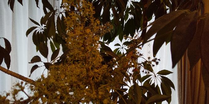 観葉植物の名前を知りたいです。 頂きものの観葉植物で、水やりのみで大きくなりました。花びらはなく雄しべ雌しべだけの花が出来ました。 ちょっと臭いが気になります。 名前を教えてください。