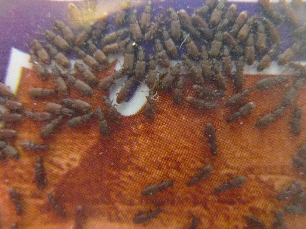 海外のお土産を未開封のまま放置しておいたら虫がわきました・・・ ビニールで密封されているので外から入ったものではないです。 この虫は何という虫でしょうか!?