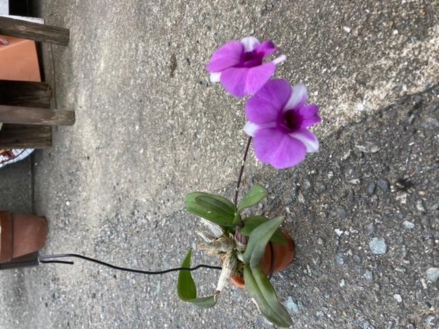 蘭について質問です。 この子は何という種類の蘭ですか? 数年前に蘭展に行き、連れて帰ってきた蘭です。小さな蘭です。