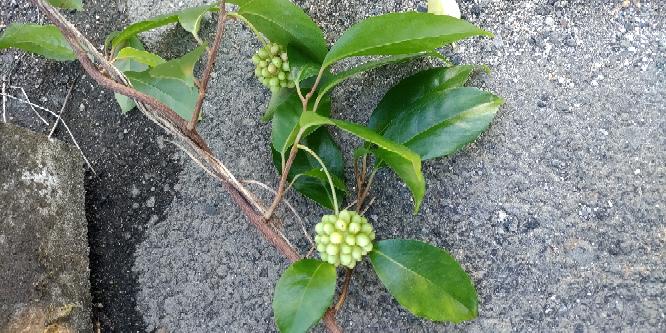 この集合したようなボコボコの実がなる植物は何という植物でしょうか?