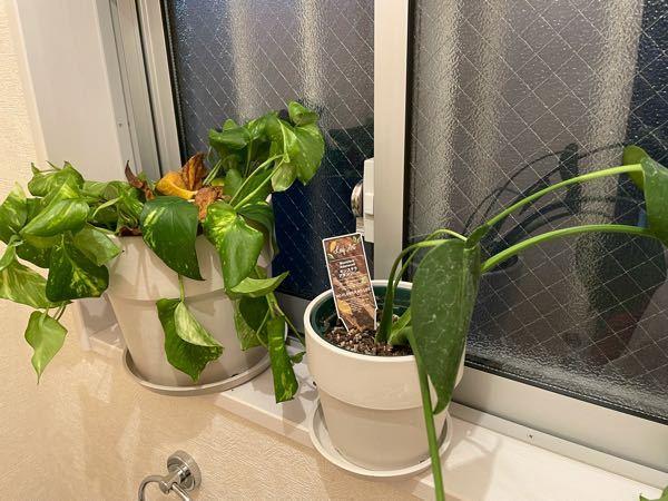 1ヶ月前に観葉植物をネットで買いました。 あまり水やりはしなくて大丈夫とかいてあったので2週間に1度受け皿に水が溜まるくらいあげてました。 ポトスは枯れ始め、モンステラは茎がしなってきました。 ネットで土を入れ替えたりするといいと書いてあって とりあえず土は買ってみましたがどうしたらいいかわかりません。無知が仇となってもっと勉強したら良かったと後悔しています。 対処法がわかる方、早急に教えていただけるとありがたいです。宜しくお願いいたします。