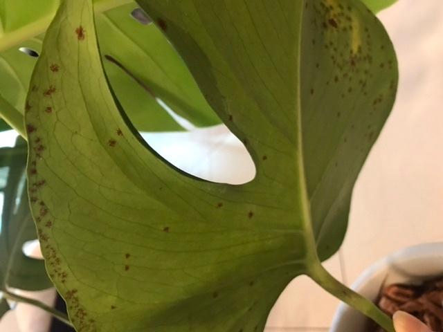 モンステラの葉の裏に何かカビのようなものが出来ています。葉の表はまだ一部しか変色していませんが、これから色が変わってくると思います。 タイに住んでおり年中クーラーをかけているので、毎日葉に霧吹きをしていますが、葉の裏にはしていません。なので葉の裏がこうなっているのに気づきませんでした。他の葉はまだ異常はありません。 水やりは3-4日に一度、下から少し水が出るくらいまでたっぷりやります。 水のやり過ぎでしょうか?カビでしょうか?カビの場合、葉ごと切り落とすべきですか?対策も教えて下さい。