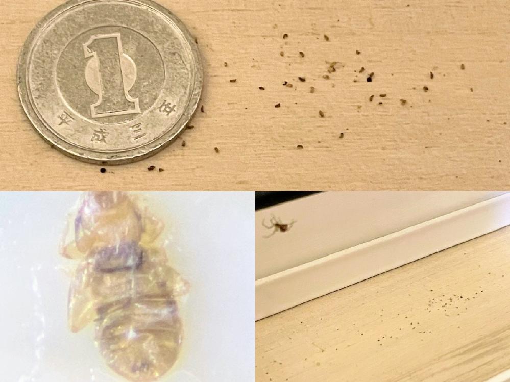 リビングとトイレの壁際に1ミリないぐらいの動かない黒っぽいポロポロしたものが落ちていて、 そのすぐそばには小さな蜘蛛が居て、 蜘蛛の子が死んでるのかと思い画像検索したらチャタテムシに似ていました これはチャタテムシでしょうか? 近くにいる蜘蛛はこの死骸を食べに来てるのでしょうか? 虫に詳しい方よろしくお願いします