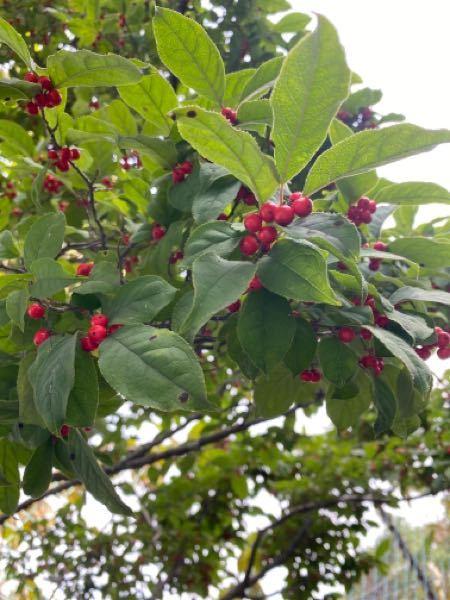 こちらのあかい実をつけている木は?なんというものでしょうか?また挿木は可能でしょうか?ご存知の方教えて下さい。よろしくお願い申し上げます。