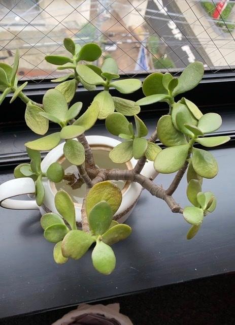 この植物の名前おわかりになる方、教えてください。 また、これは挿木することはできるでしょうか?