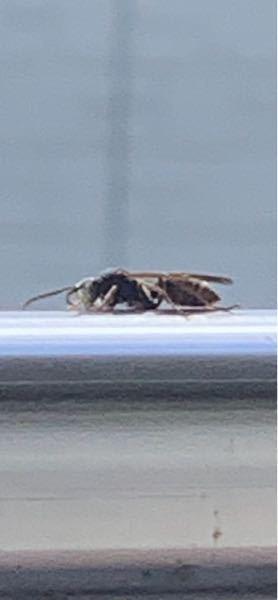ベランダにこの虫が常に5.6匹飛び回っていて 困ってます。 駆除する為にこの虫がなんなのか知りたいです。 詳しい方よろしくお願いしますm(_ _)m