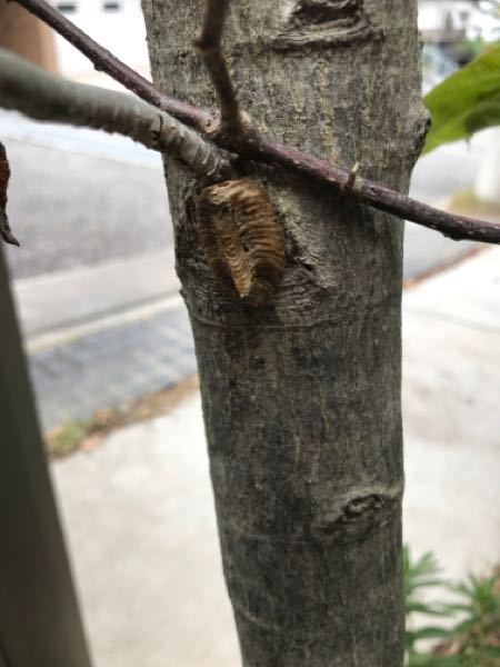 家の木に、こんなのがついたのですが、何かのサナギでしょうか?