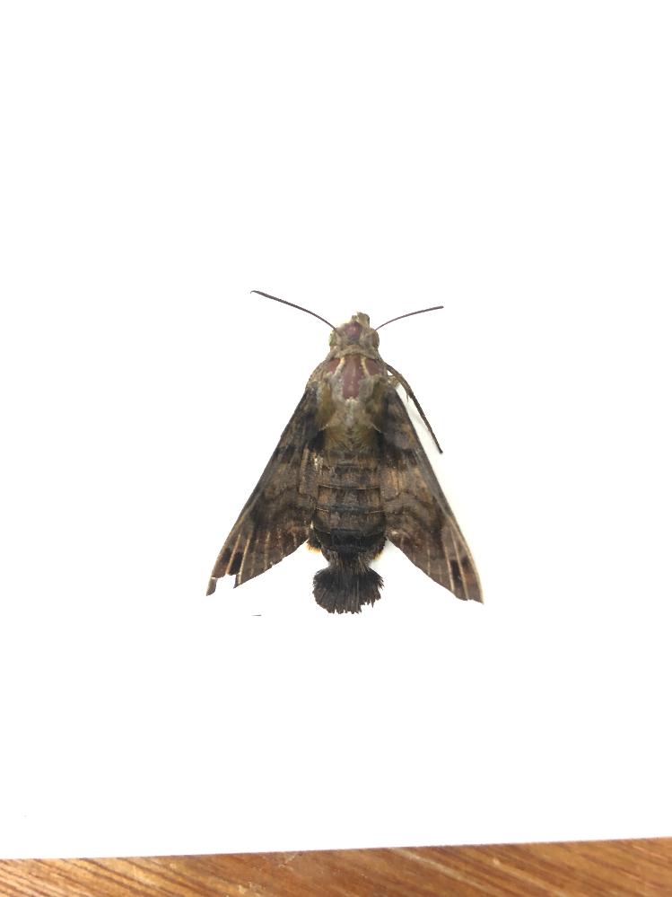 これって何という虫ですか? 仕事場で死んでいました。腹の先端が丸くなっているので気になりました。