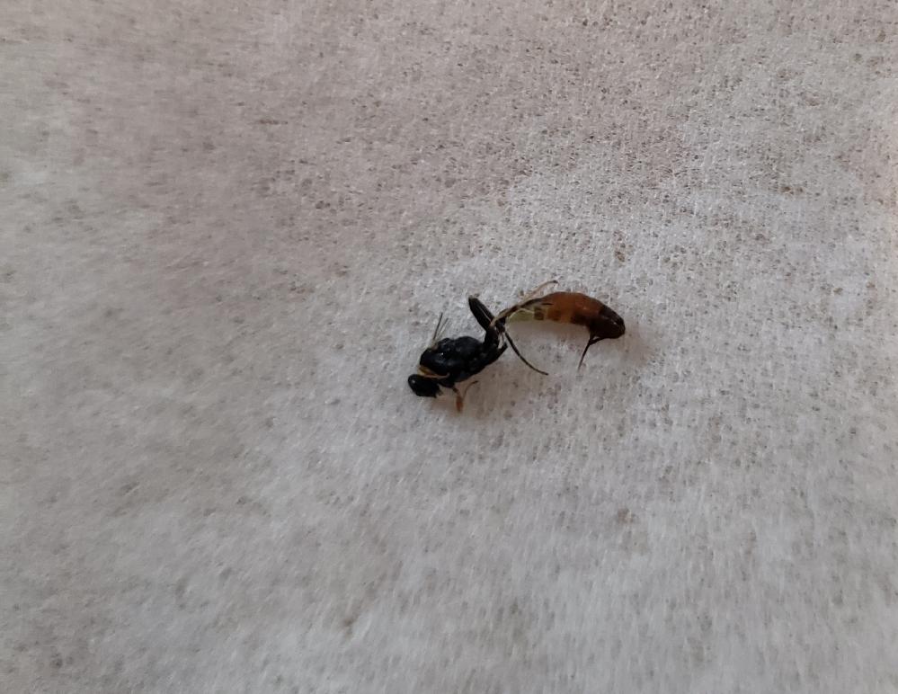 こいつは何虫ですか?部屋のカーテンにくっついていたので指で捕まえたら針みたいのを出したのでプチっと潰してしまいました。アリガタバチの仲間ですか?