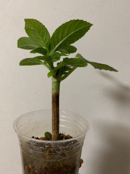 紫陽花挿し木苗について質問させていただきます 2か月前に挿し木して十分発根していました 葉も元気で問題ありません。 しかし茎は下の方が茶色くなっています これはこの先育つのでしょうか? ご存知の方よろしくお願いします!