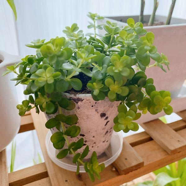 観葉植物について質問です。 写真の植物の名前を教えてください。 ペペロミア・イザベラでしょうか? 知っている方がいたら教えてください!