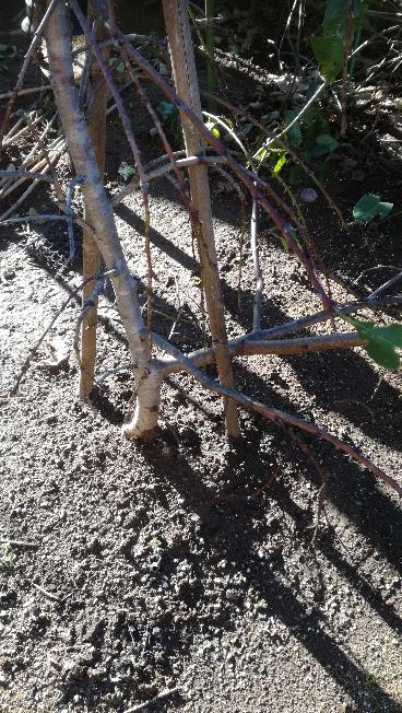 桃の木の剪定について 地面からおおよそ10~30cmぐらいの箇所に 枝が延びております(添付写真)。 ①この枝を切って良いと考えておりますが、この考えで良いでしょうか ②この枝の剪定時期は、いつが良いでしょうか。 桃の木は樹高1mぐらい、植え付け三年ぐらいです。 アドバイスお願いします。