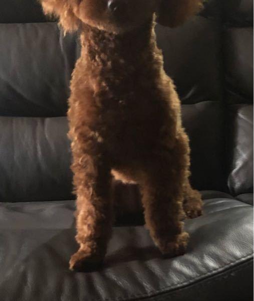 トイプードルの足の形について うちの犬(トイプードル生後8ヶ月2.5キロ) の前足なんですが 特に歩き方が可笑しいとか そんなことはないので 細くカットするまで気づかなかったんですが 左足が曲...