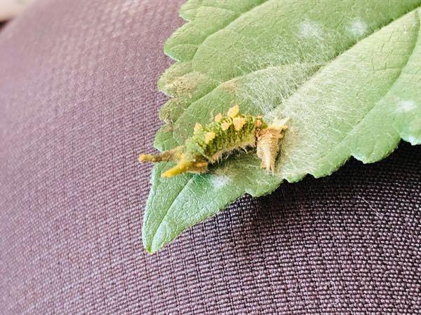 エノキの葉っぱと思われる木に付いていたのですがゴマダラチョウの幼虫でしょうか? よろしくお願い致します☆