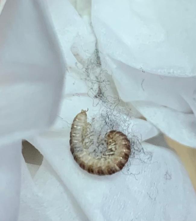 ※虫の画像あります。 年に1.2度、この虫が家の中で死んでいます。 家の中で繁殖するのかとだんだん怖くなってきてしまいました。 これがどんな虫なのか、分かる方教えていただけると幸いです。よろしくお願いします。