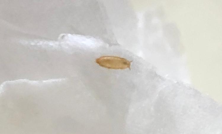 昨日購入したマスカットにこのような虫がたくさんついていたのですがなんの虫かわかる方いらっしゃいますか?