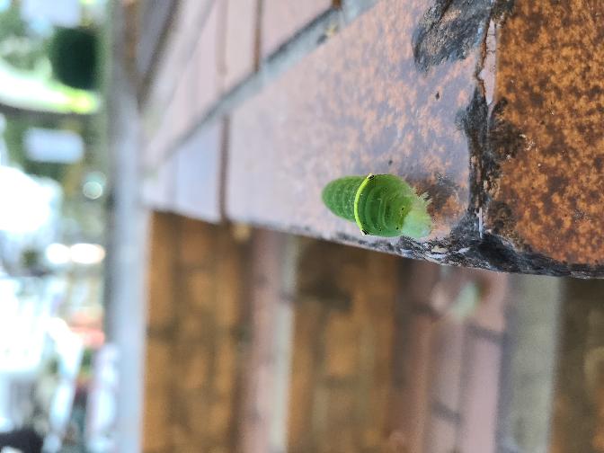 何の幼虫かわかる方教えてください。