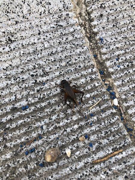 昆虫に詳しい方! これはコオロギでしょうか? ゴキブリではないですよね?