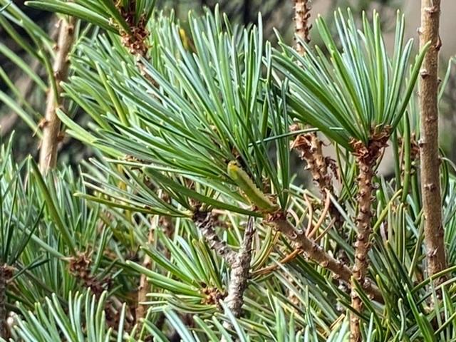 先程庭の松の木に青虫がたくさんついていました。 殺虫剤は撒きましたが今後のため何という虫かご存知の方教えてください。 私が確認した青虫の大きさは大体2センチくらいです。