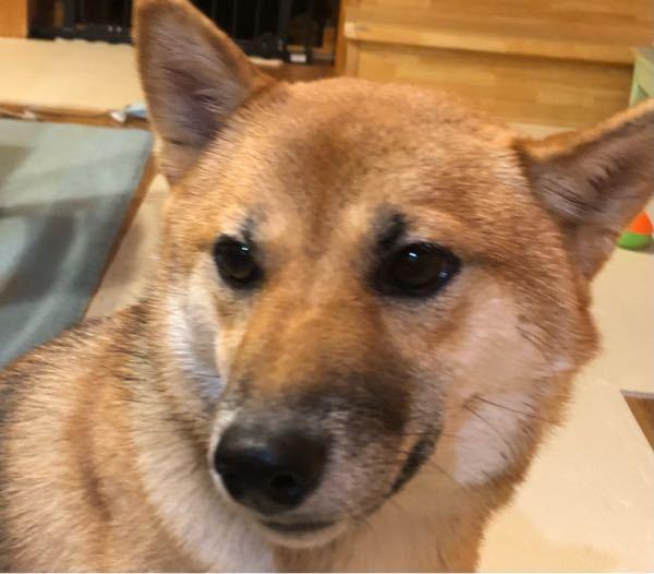 愛犬の耳が変です。 写真じゃ分かりにくいのですが、左耳がいつもの場所より左にずれています。 頻繁に頭を振っていて、なにか気にしている様子なのですが… 一体なんなのか分かりません。 左耳を触っても特に痛がる様子は無いです。 わかる方いますか???? 柴犬 日本犬 動物 病気 耳