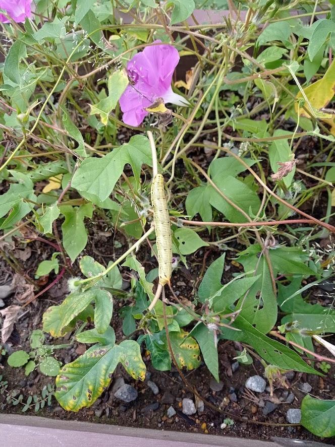 この幼虫はオオスカシバですか?それともスズメガですか? 見分け方のポイントを教えてください。