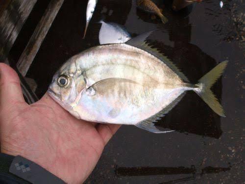 陸っぱりで釣れました。なんていう名前の魚ですか?