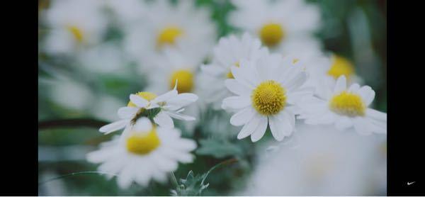 花の名前について教えてください! この写真はどの花だと思いますか? シャスターデイジー、カモミール、ノースポール