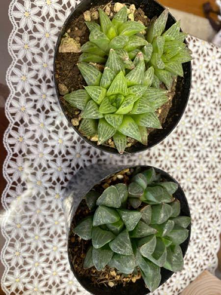 こちらの多肉植物の種類はなんでしょうか。 この二つ色が違うのできっと両方とも違うのかな〜??って買ってしまいました。 教えてくださいませ。 よろしくお願いします。