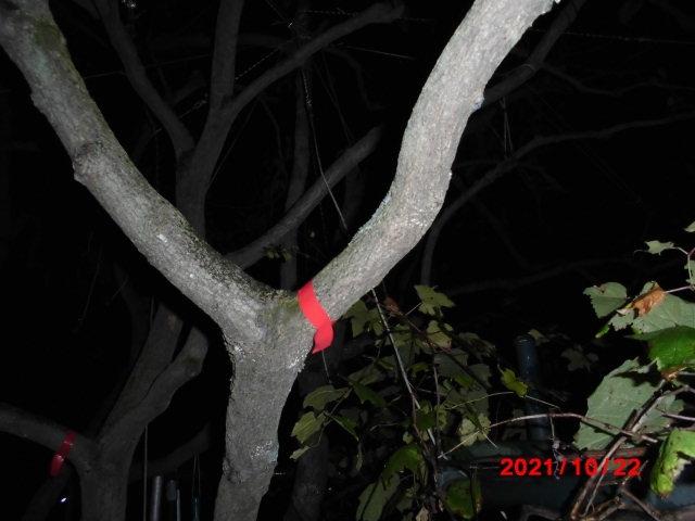 こんばんは、失礼します。 柿の木の剪定のことなんですけど。 柿の実は全部取りつくしました。 まだ葉っぱはいっぱぃついてますが、24日(日)に 7センチくらいの太い枝を切ろうと思ってます。 10月に太い枝をカットすると悪いことが起きますか? 柿の木が枯れてしまうとか? 邪魔だから早くカットしたくて質問してます。 すみませんけど、よろしくお願いいたします。 赤いテープからカットする予定です。 ps へそ曲がりおじさんさんが見てくれると嬉しいな。