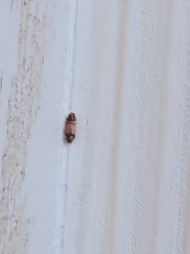 画像載せ忘れてしまったので上げ直します。 いまさっきふと壁を見たら虫の卵?か虫のようなものが張り付いていました。 調べて見てもよくわからず、ゴキブリの卵でもなさそうな見た目でよく分かりません… 放置しておきたくないのでわかる方がいたら回答お願いします
