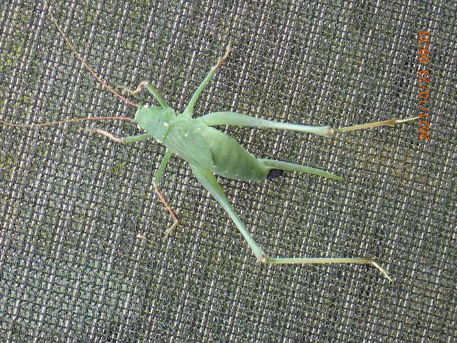 何バッタの幼虫ですか?