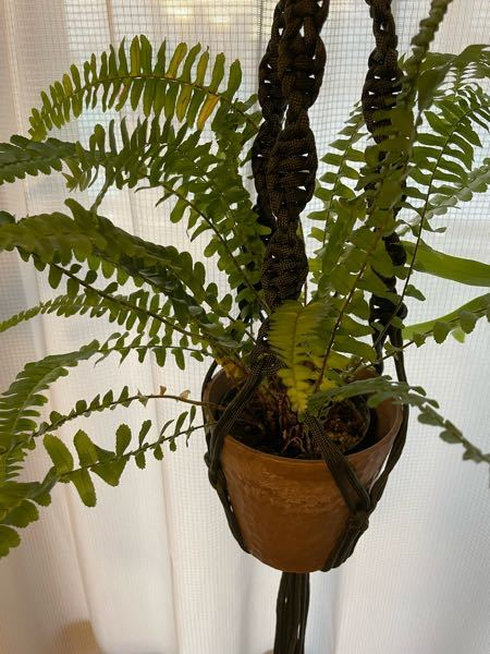 植物の名前について 先日とあるインテリア屋さんで観葉植物を購入したのですが、店員さんに植物の名前を聞くのを忘れてしまいました。 タグも捨ててしまい、検索してもなかなかヒットしないのでもし分かるかも!という方がいらっしゃったら教えてください。 よろしくお願いいたします。