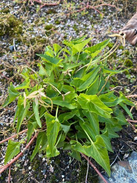 これは何という植物ですか? 東北の山で見つけました。