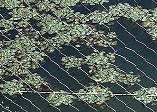 水草ですが名前を教えてください。画像を添えますのでよろしくお願いします。 葉っぱが集まって一つの浮草の形をしていて一つの集まりは15~20cmほどで、それがたくさん集まって池面を埋めていました。