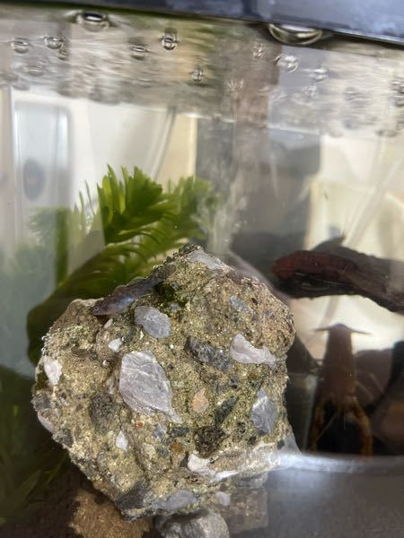 息子がザリガニと一緒に池から連れ帰ってきました。 このお魚は何の種類なんでしょう?? つん!つん!と泳ぎ、岩や床の砂にくっついて過ごしています。 普通の魚のようなスーイスーイと滑らかな動きはしないようです。 詳しい方教えていただけると助かります。 よろしくお願いします。