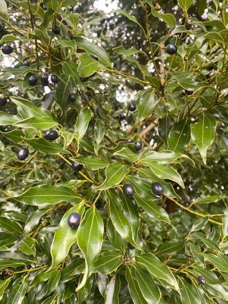 この黒い実がなっている植物はなんですか?
