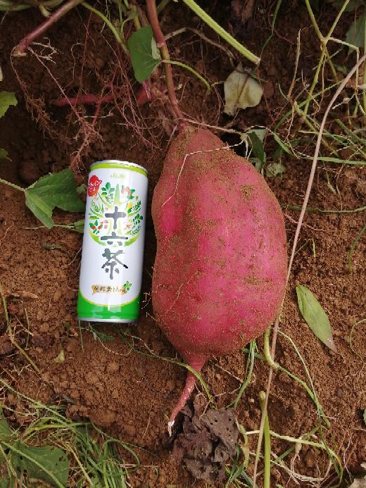 本日、サツマイモを収穫しているのですが、なかなかの大きさで驚いています。収穫が遅かったのでしょ...