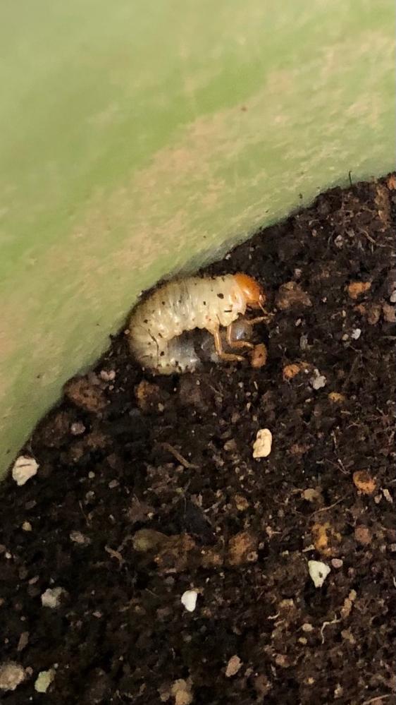 子供の朝顔の植木鉢を片付けていたら、この幼虫が中にいました。 これはなんの虫の幼虫でしょうか?