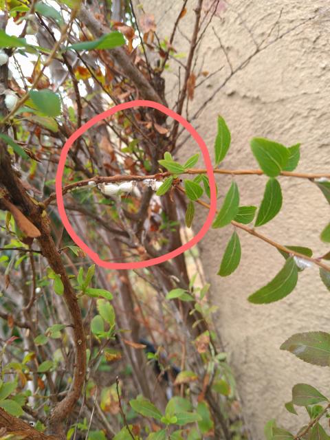 枝に白い卵のようなものがあるですが何の卵か分かる方いらっしゃいませんか。
