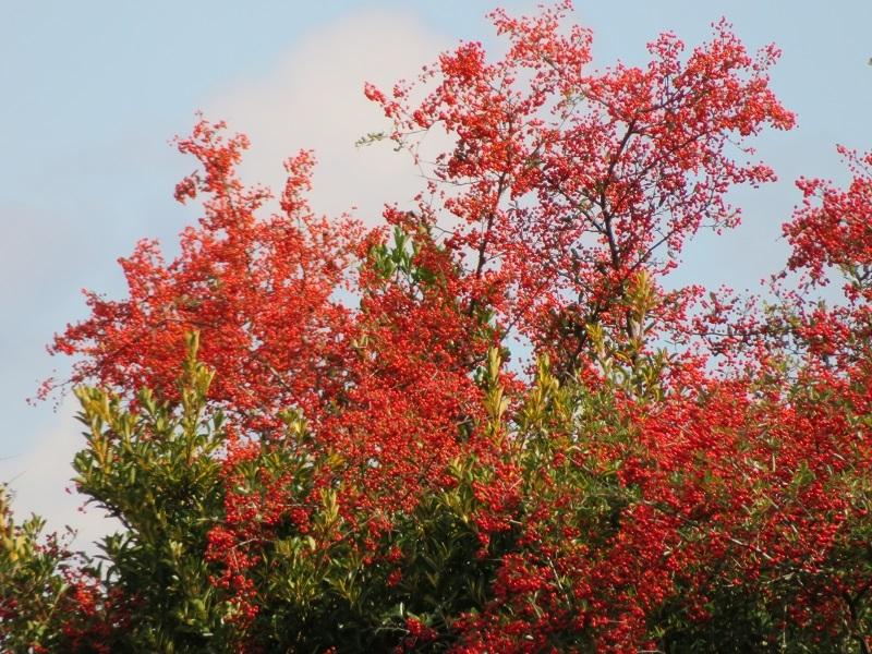 今日、遠くに色づきの良い葉があると車の中から撮って来ましたら 葉ではなく赤い実でした。 なんの実かご存知の方、教えて下さい。