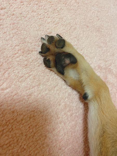 愛犬の肉球が、黒い部分が剥げたように一部分ピンク色になっています。病院に連れて行った方が良いのでしょうか?回答お願いします。犬種は柴犬です。