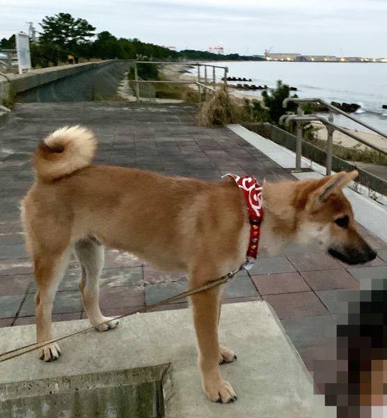 今月の30日で7ヶ月になる柴犬オスです。 一般的な成犬柴犬のオスの体重は8〜11kgみたいですが 我が家の柴犬は6ヶ月なのに8kgあります。 ですが「痩せてない?」とか「小さくない?」とか言わ...