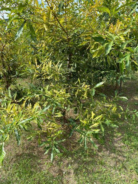 椎茸の木がこんなに育ちました。下の枝は、払ってしまってもいいんでしょうか?