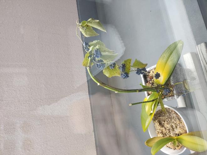 この鉢植え植物ってなにかわかりますか? 胡蝶蘭みたいなんですけど、実がなるのかなと… 写真何故か横になっててすみません