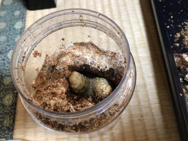 オオクワガタの幼虫はこの時期に蛹室を作ることってあるんですか? 菌糸瓶に入れてから3ヶ月経っても食痕がほとんど現れなかったので気になって見てみたら真ん中で蛹室の様な楕円形の部屋にいたのですが蛹室ですか?