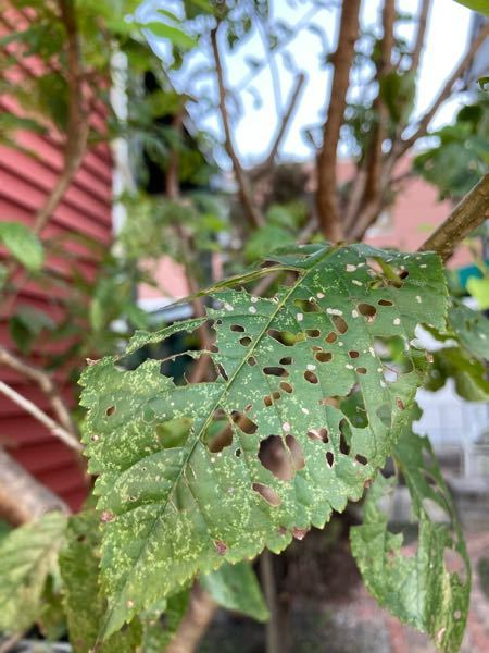 さくらんぼの木です。 気づいたらもうすぐ落葉する葉っぱが虫食い?だらけ。 害虫被害かと思い目を凝らして眺め回しましたが虫が全く見つけれません。 しかも若葉はまったく穴が空いておらず古い葉ばかり。 植えてから何年か経ちますがこんなふうになったのは初めてみた気がします。 放っておいても大丈夫でしょうか?今年の春までにカイガラムシの被害にあった樹です。 お詳しい方、ご教示ください。