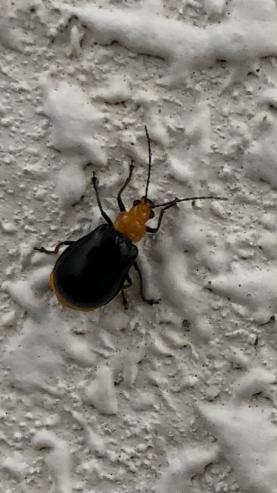 この虫はなんという名前かご存知の方がおられましたら教えてください。 実際の大きさは1センチないくらい小さいです。